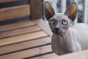 Katzenrasse Sphynxkatze